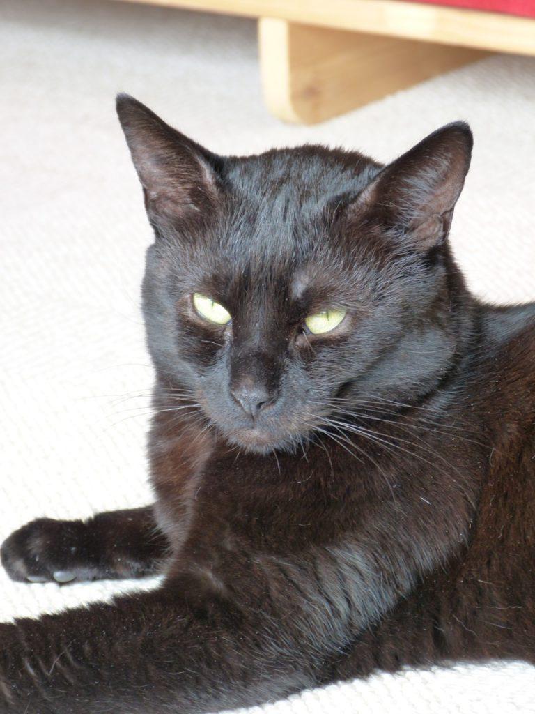 Emilio, der große schwarze Kater.